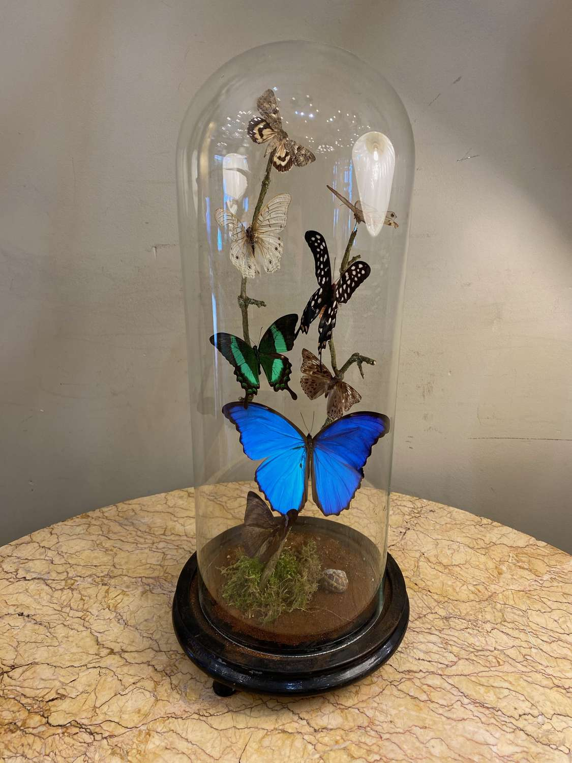 C1890 Glass Dome with Mounted Butterfly's